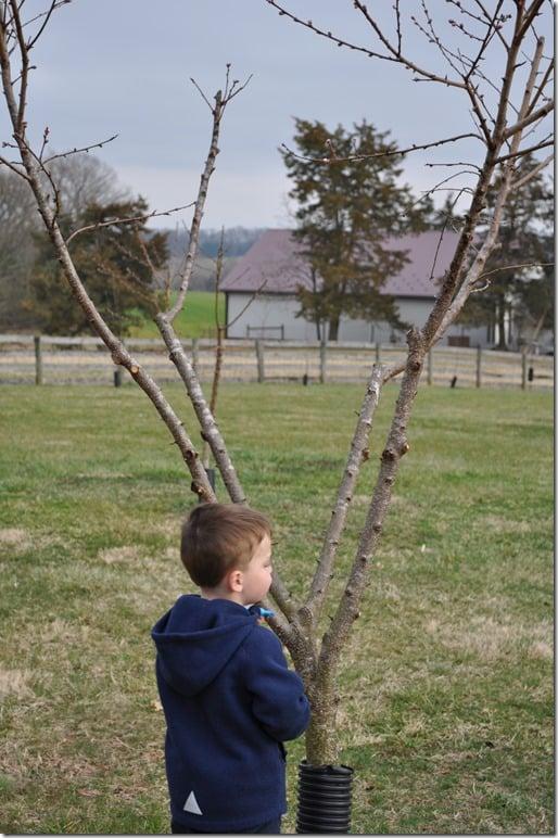 Peach tree (2)