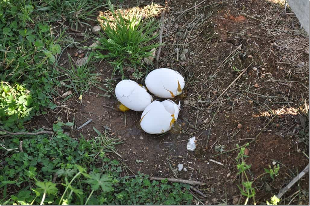 eggs on ground