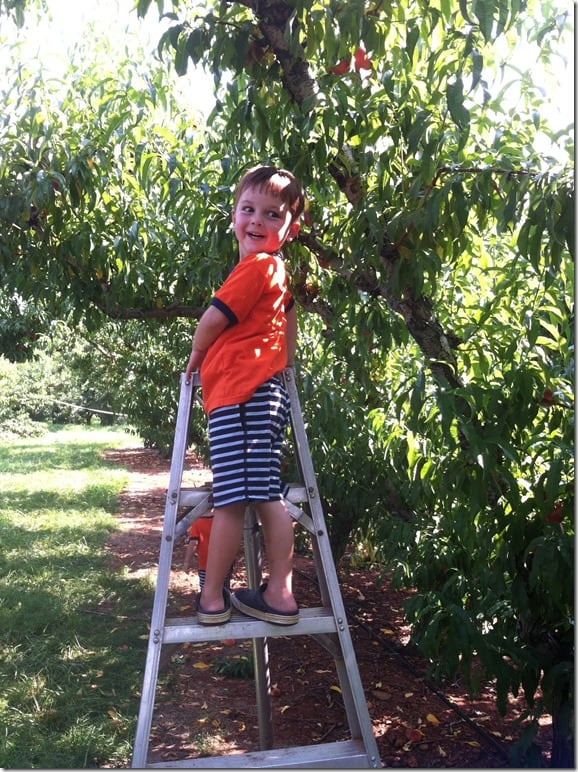Peach Picking Gibbs on Ladder 2