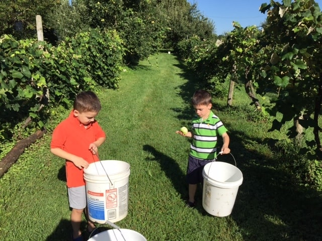 Two boys in an apple orchard picking apples
