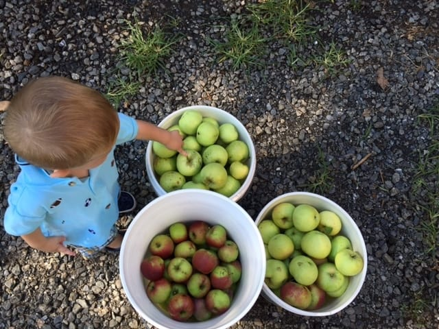 Three buckets of freshly picked apples used for making apple breakfast parfaits