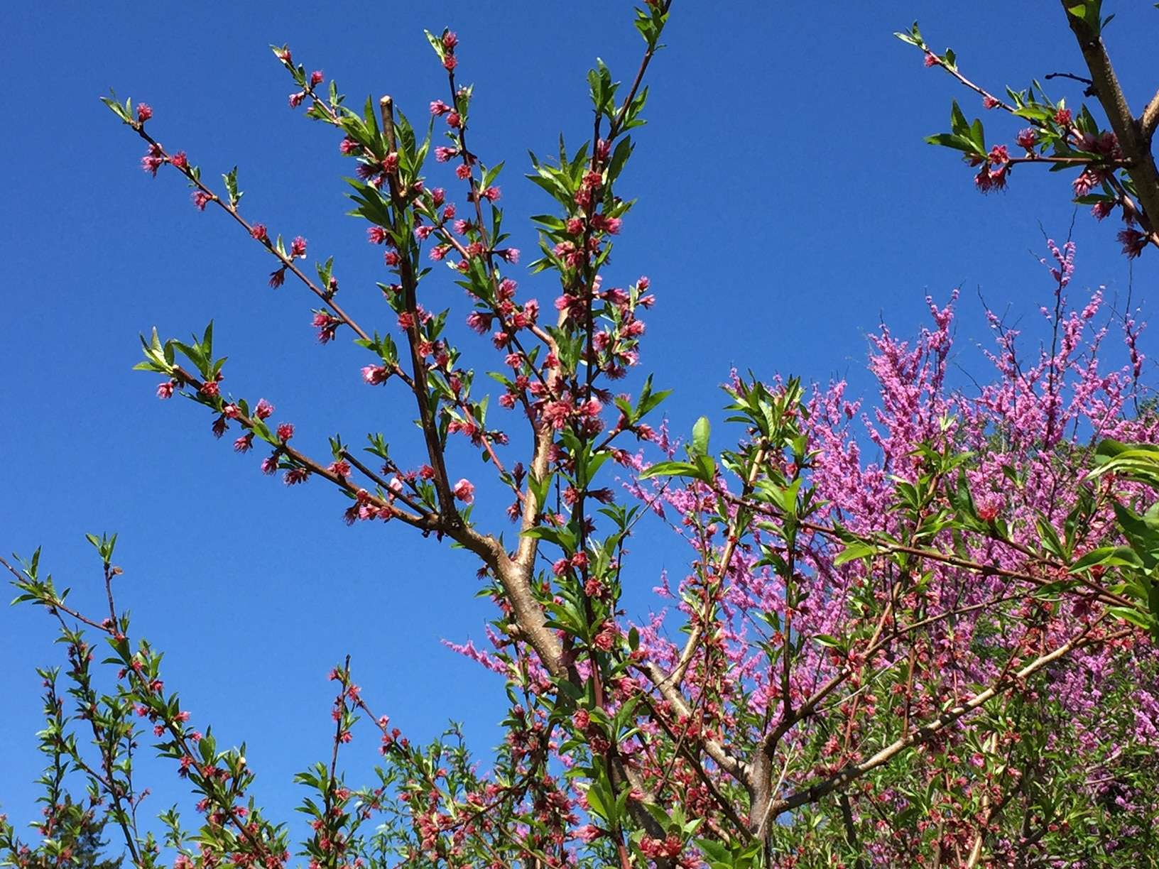 A photo of fruit trees blooming again a blue sky